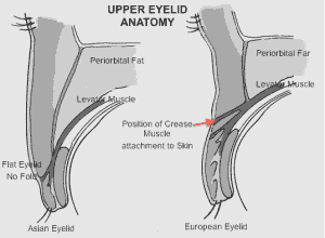 Anatomy of the double eyelid